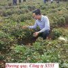 cay-duong-quy-giong1