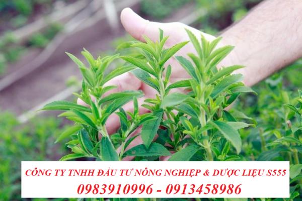 Cây cỏ ngọt Công ty S555