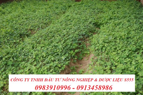 Vườn trồng cây sâm dây