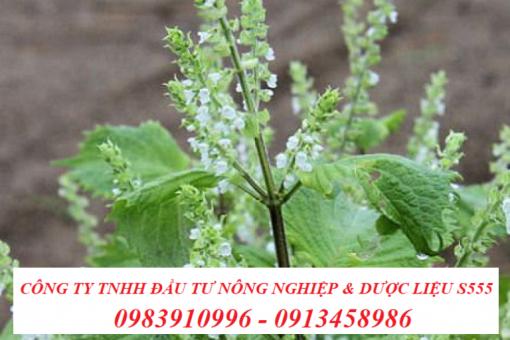 Giống cây hương nhu trắng tại công ty dược liệu S555